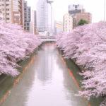 最新!目黒川桜まつり2018の期間と現在の開花状況。ライトアップも!