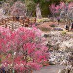 熱海梅園梅まつり2018の見ごろと開花状況は?アクセスと駐車場も