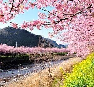 三浦海岸の河津桜まつり2018開花情報。最寄り駅や駐車場もチェック!