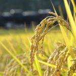 美味しい稲刈り時期の見分け方とは?人気の稲刈り体験も!