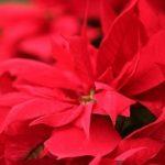 クリスマスの定番ポインセチアの花言葉は?室内での育て方はどうする?